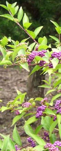 shrub with berries